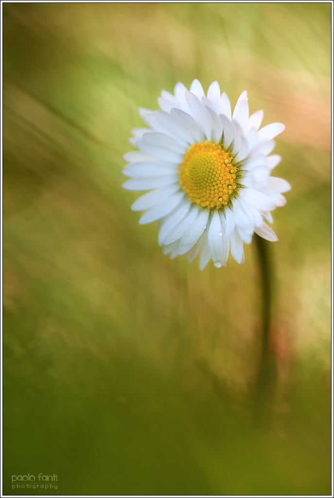 Photograph Daisy by Paolo Fanti on 500px