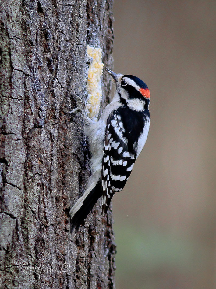 Photograph Nuttall's Woodpecker ( Picoides nuttallii) by Carlos Grupilo on 500px