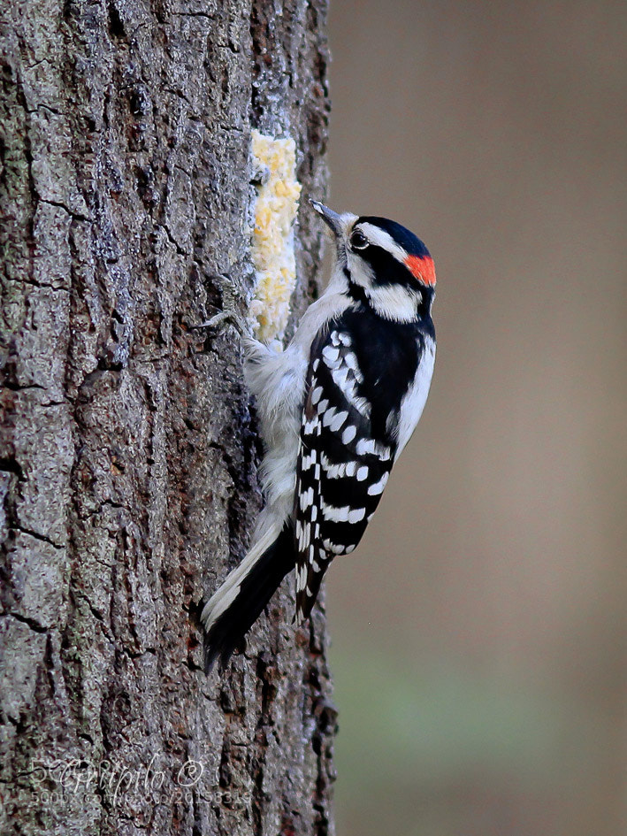 Photograph Nuttall's Woodpecker ( Picoides nuttallii) by Carlos Grupilo on 500px