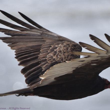 Turkey Vulture, Nikon D750, AF-S Nikkor 200-500mm f/5.6E ED VR