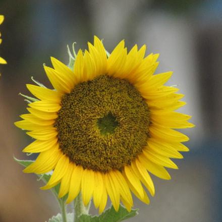 Sunflower, Canon POWERSHOT SX400 IS