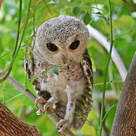 Indian Scops Owl, Nikon D500, AF-S Nikkor 200-500mm f/5.6E ED VR