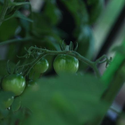Tomato, Canon EOS KISS X7, Canon EF 35-80mm f/4-5.6