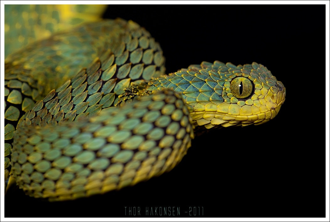 Photograph Atheris squamigera by Thor Håkonsen on 500px