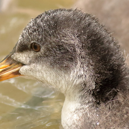 Coot Chick, Canon EOS 700D, Canon EF 400mm f/5.6L