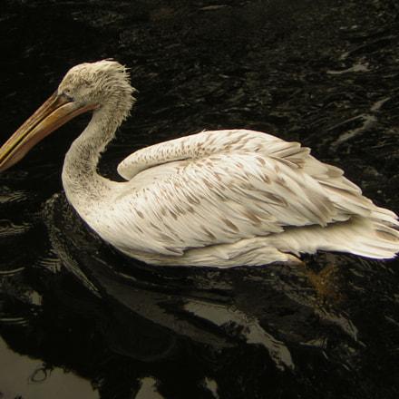 Antwerp Pelican, Nikon E2200