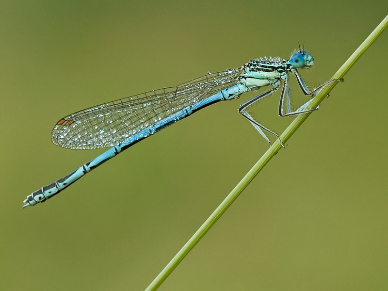 Photograph Damsel by Jerry Bouwmeester on 500px