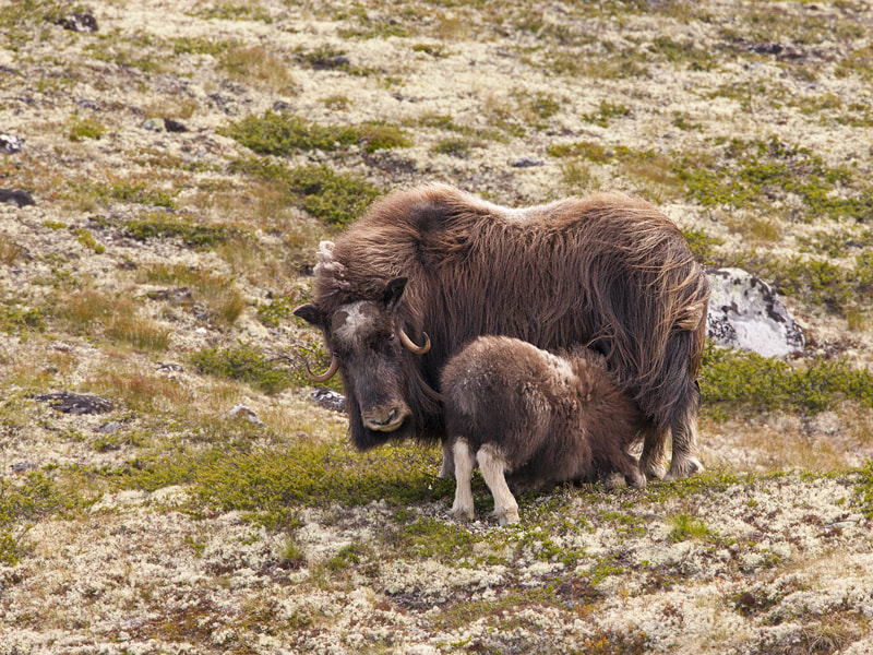 Photograph Muskus Ox by Jerry Bouwmeester on 500px