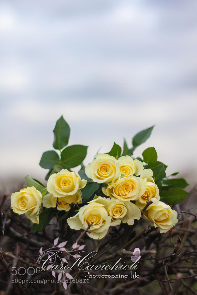 Photograph Yellow Roses by CarolCavichioli Photography on 500px