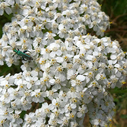 Achillea millefolium, Canon POWERSHOT SX40 HS