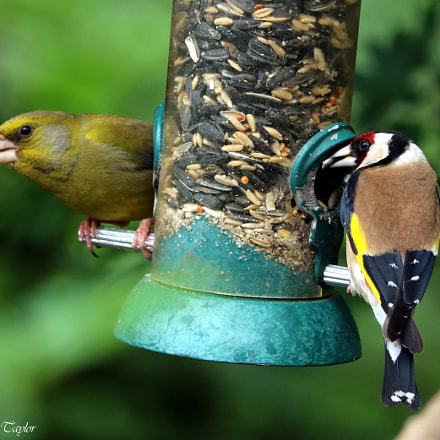 Greenfinch and Goldfinch, Canon EOS 750D, Canon EF70-300mm f/4-5.6 IS II USM