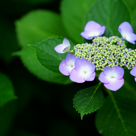 Hydrangea in the park, Sony ILCE-7M2, Sony FE 70-200mm F4 G OSS