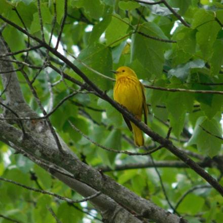 Yellow Warbler , Nikon COOLPIX L840