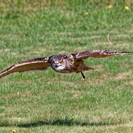 Owl on the move, Canon EOS 7D MARK II, Sigma 150-600mm f/5-6.3 DG OS HSM | C