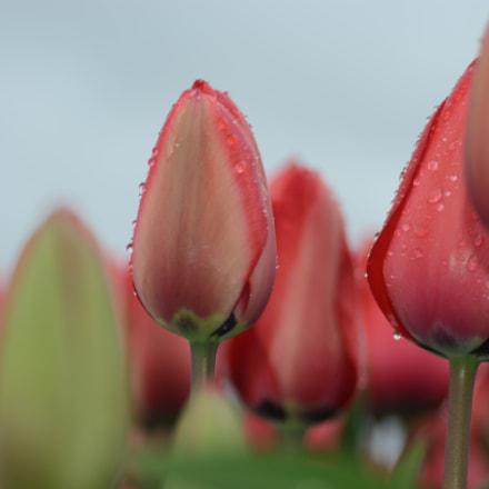 tulpen, Nikon D7000, AF Zoom-Nikkor 28-105mm f/3.5-4.5D IF