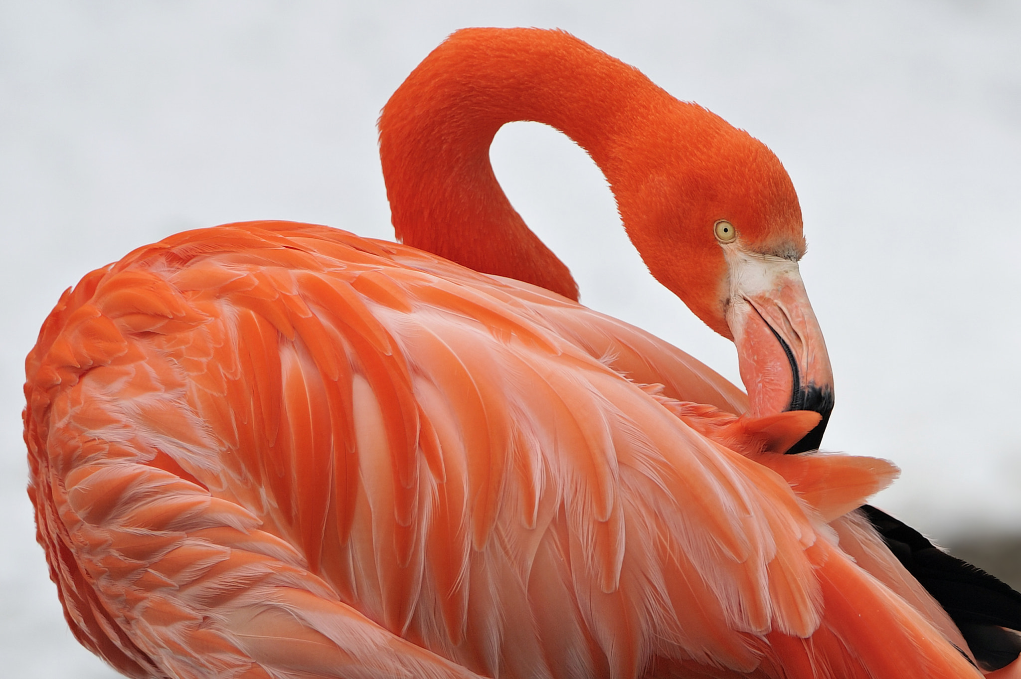 Photograph Red Flamingo by Josef Gelernter on 500px
