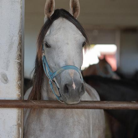Grey Arabian horse into, Canon EOS 750D, Canon EF 100mm f/2.8 Macro USM