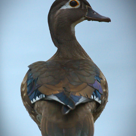 Wood Duck (female), Canon EOS 40D, Canon EF 100-400mm f/4.5-5.6L IS II USM