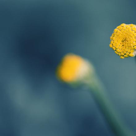 Santolina chamaecyparissus, Nikon D500, AF Micro-Nikkor 200mm f/4D IF-ED