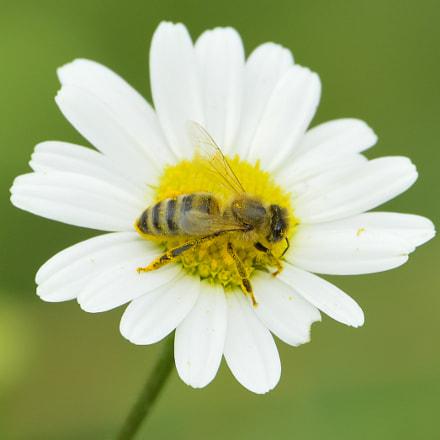 Honey Bee, Nikon D3300, Sigma 150-600mm F5-6.3 DG OS HSM | C