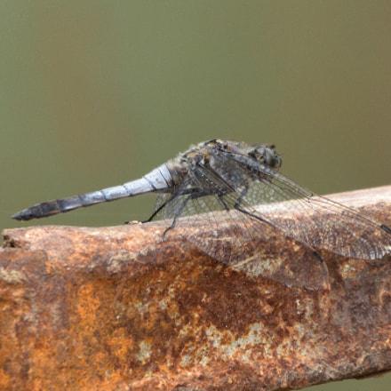 Black-tailed skimmer, male Orthetrum, Nikon D750, Sigma 150-600mm F5-6.3 DG OS HSM | C