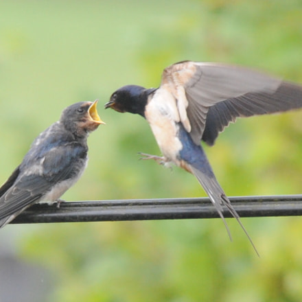 Swallow chick feeding, Nikon D3, AF VR Zoom-Nikkor 80-400mm f/4.5-5.6D ED