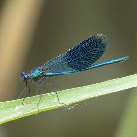 Banded demoiselle (Calopteryx splendens), Nikon D750, Sigma 150-600mm F5-6.3 DG OS HSM | C