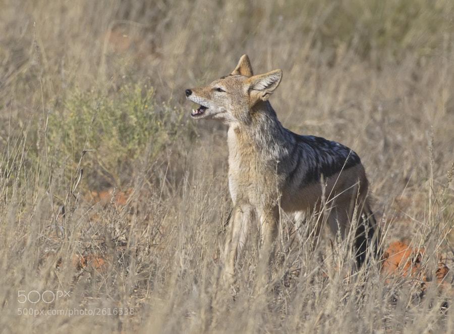 Taken in Kgalagadi Transfrontier Park, South Africa, 17th June, 2011