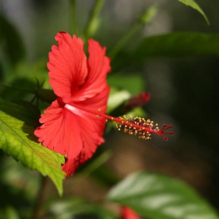 Hibiscus rosa-sinensis   செம்பருத்தி, Canon EOS 6D, Canon EF 24-105mm f/3.5-5.6 IS STM