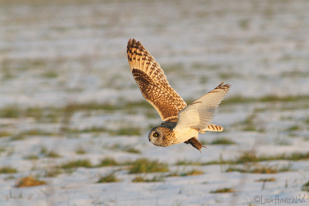 Photograph short eared owl with mouse by Luca Avanzini on 500px