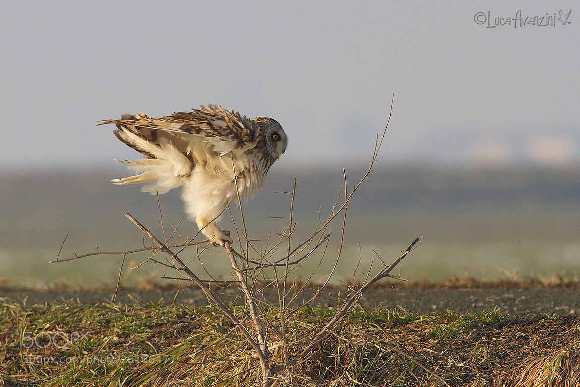 Photograph the take off of the short eared owl by Luca Avanzini on 500px