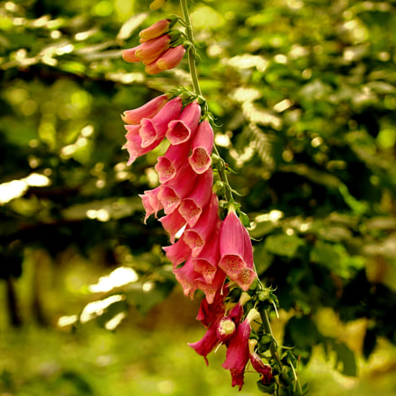 Foxglove, Canon EOS 600D, Canon EF-S 55-250mm f/4-5.6 IS STM