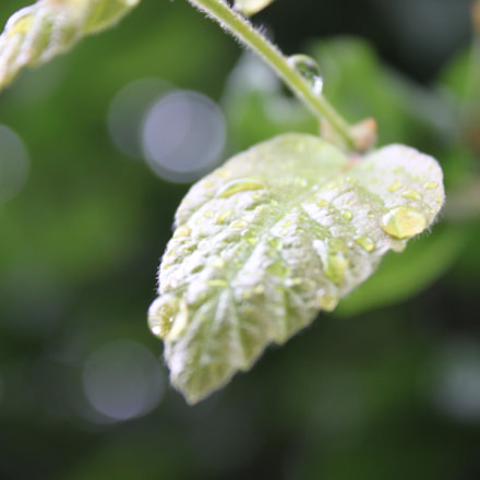 Leaf With Rain On, Canon EOS 500D, Canon EF-S 18-55mm f/3.5-5.6 IS II