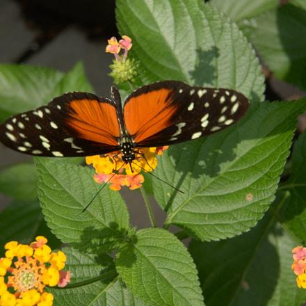Butterfly display, Nikon D610, AF-S VR Zoom-Nikkor 24-85mm f/3.5-4.5G IF-ED