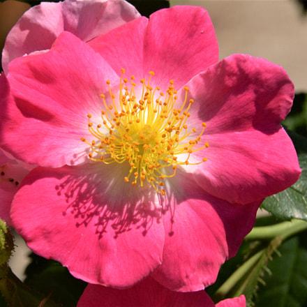 Blooming Rose, Nikon D610, AF-S VR Zoom-Nikkor 24-85mm f/3.5-4.5G IF-ED