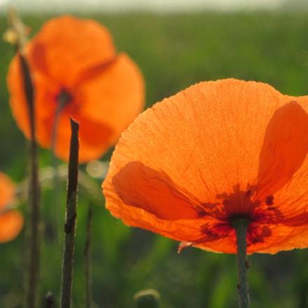 field poppy, Canon POWERSHOT S120