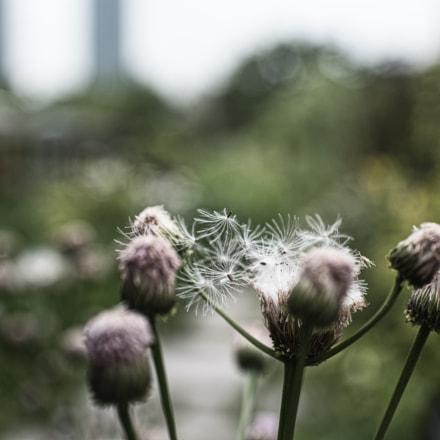 Dandelion, Nikon D810