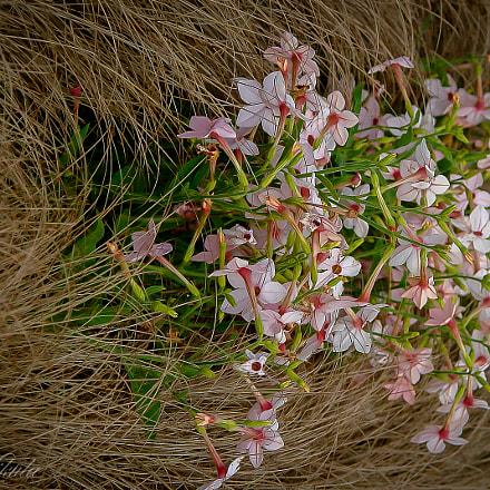 Wild Flower ., Sony DSC-R1