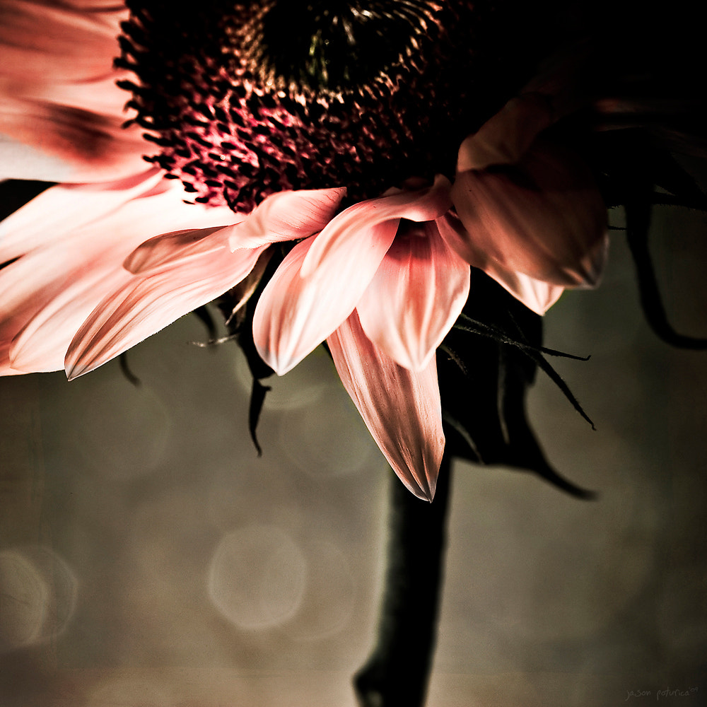 Photograph Sunflower in pink by Jason Poturica on 500px