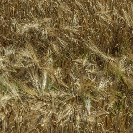 Wheat, Panasonic DMC-TZ60