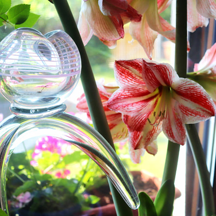 Amaryllis - home garden, Canon EOS 200D, Canon EF-S18-55mm f/4-5.6 IS STM
