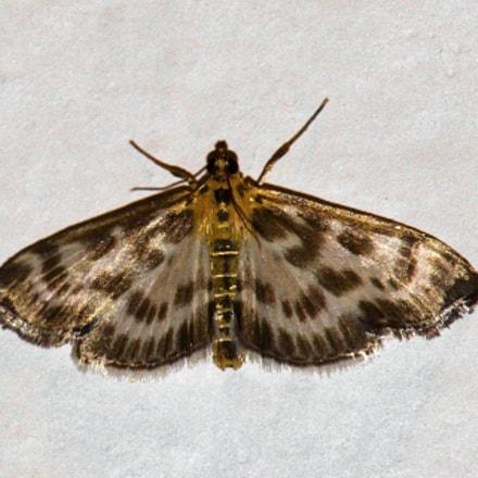 owlet moth, Canon EOS 50D, Canon TS-E 90mm f/2.8
