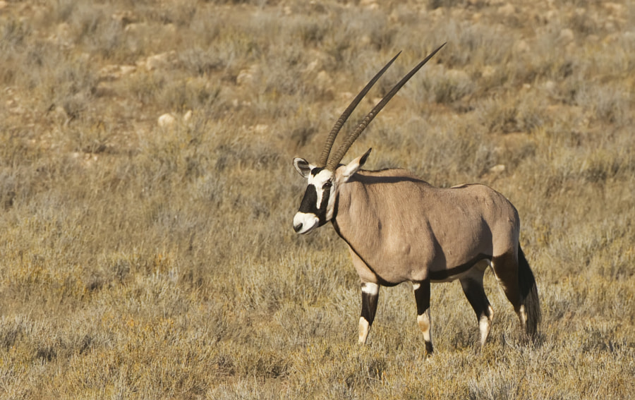 This magnificent beast was taken in Etosha National Park, Namibia, 27th June 2011