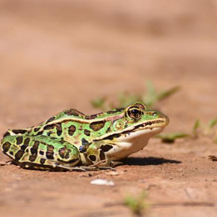 Leapord Frog, Nikon D7200, AF-S VR Zoom-Nikkor 70-300mm f/4.5-5.6G IF-ED