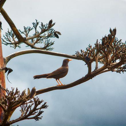 Turdus serranus posing in, Nikon D7100