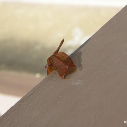 Dragonfly, Nikon COOLPIX P90