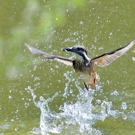 Young kingfisher, Nikon D850, AF-S Nikkor 300mm f/4E PF ED VR