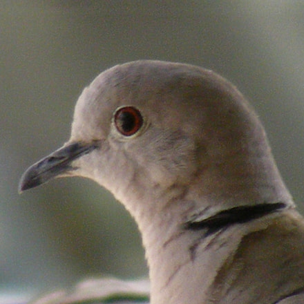 Eurasian coloured dove, Fujifilm FinePix S5700 S700