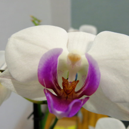 Orchid in the room, Sony DSC-H90