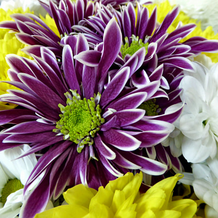 Chrysanthemums under the sun, Panasonic DMC-TZ60